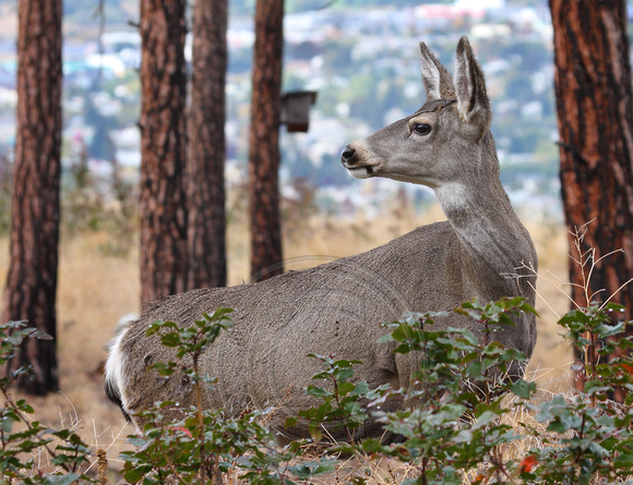 female Mule Deer with city in background