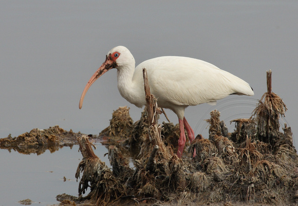 White Ibis with a messy bill