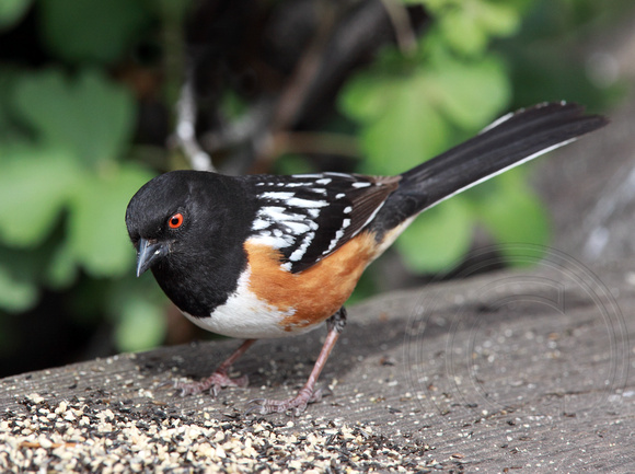Spotted Towhee eating seed