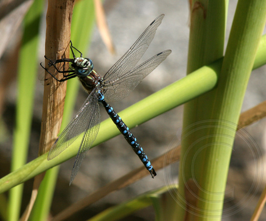 Paddle-tailed Darner eating prey