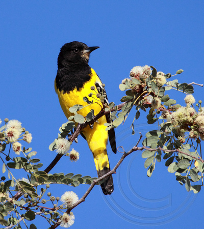 male Scott's Oriole in brush near Los Nidos Inn
