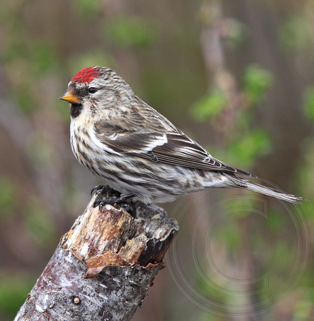 Wow - April 1 and the redpolls are still here