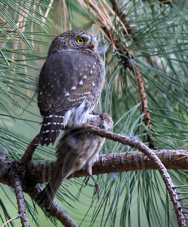 Northern Pygmy-Owl with its lunch, a House Finch