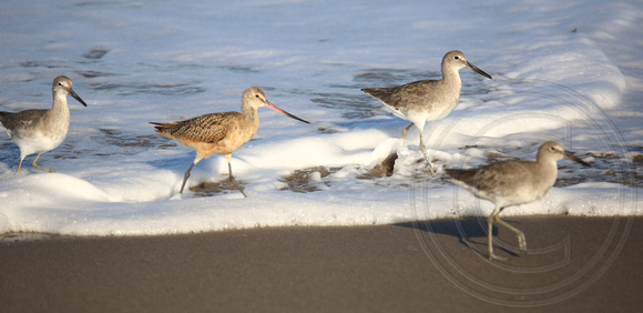 Godwit and Willets in the surf