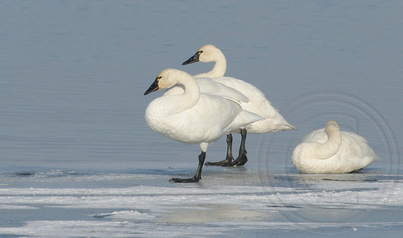 Tundra Swans on Lake Okanagan ice