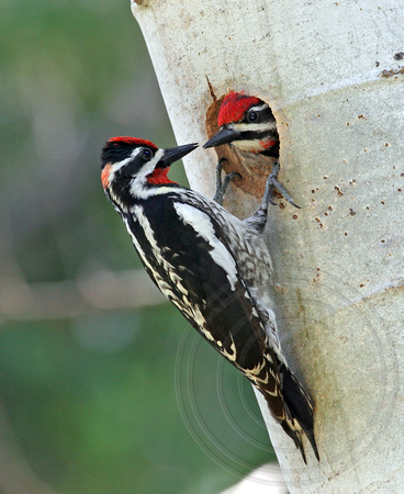 Red-naped Sapsucker pair - Mirror Image