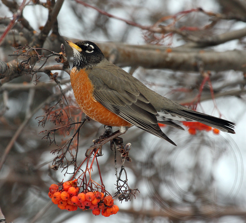 Robin in winter with Mountain Ash berries