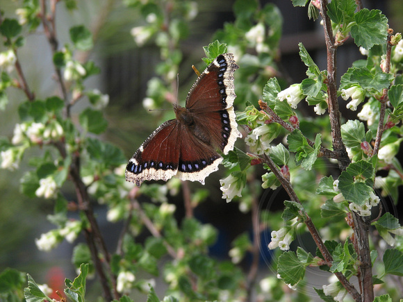 Mourning Cloak on waxy currant