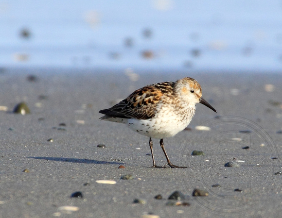 male Western Sandpiper on north beach