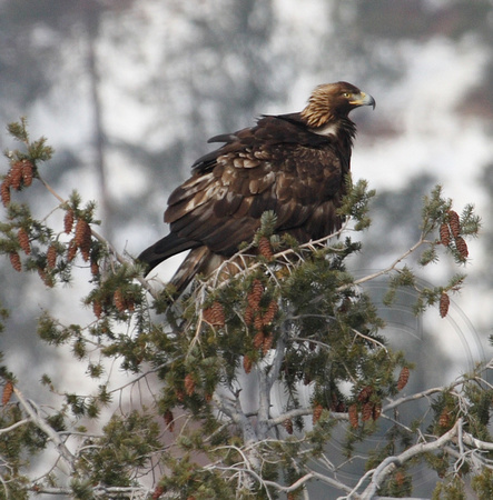NATURE NICHE PHOTOS By Laure Wilson Neish Eagles And
