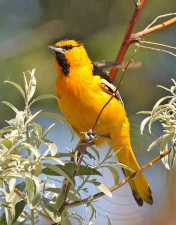 male Bullock's Oriole in Russian Olive