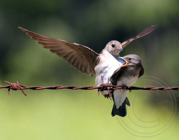 Northern Rough-winged Swallow - parent landing on juvenile's back?
