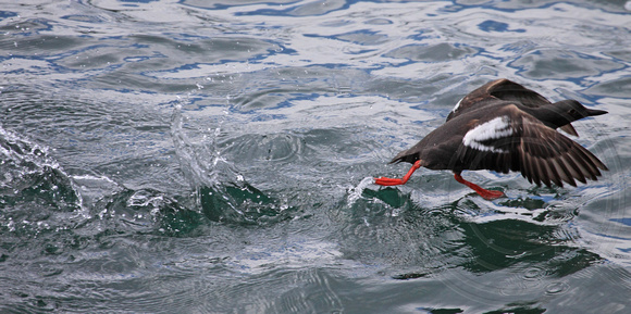 Pigeon Guillemot on the run