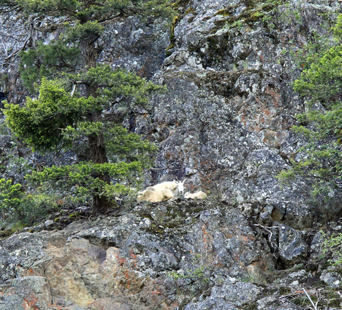 Mountain Goat with newborn