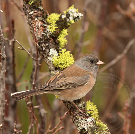 "a very brown female ""Oregon"" Junco"