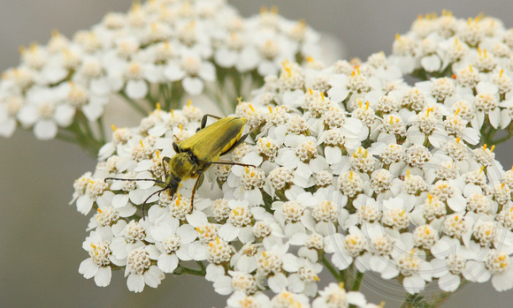 Long-horned Beetle on Yarrow