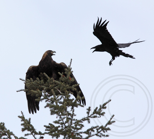 Raven harassing the golden eagle minutes after it was released into the wild