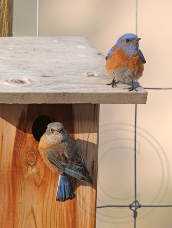 Western Bluebird pair inspecting a possible nest site