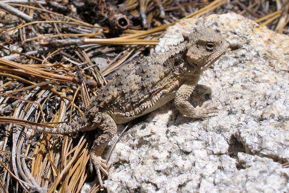 Horned Lizard (by Catherine Neish)