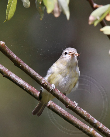Warbling Vireo shaking a moth (dust-like particles)
