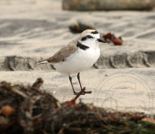 male Snowy Plover - my lifer quest!