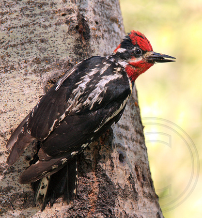male Red-naped Sapsucker carrying food for nestlings