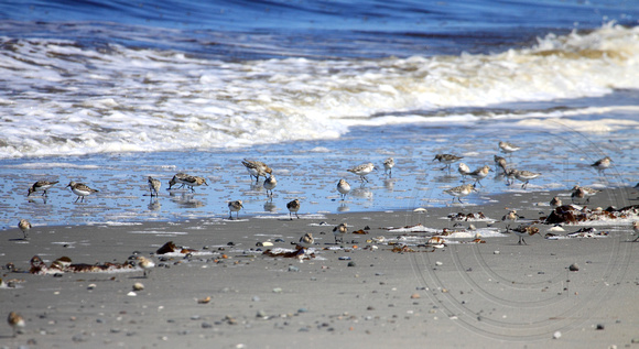 "Flock of about 90 sandpiper ""peeps"" on this beach feeding during migration"