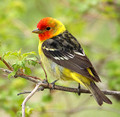 male Western Tanager in a hawthorn tree