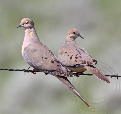 Mourning Dove pair (couple of young and parent?