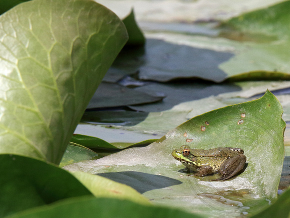 Green Frog on lilypad