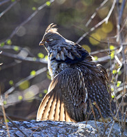 Ruffed Grouse starting to drum