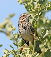 Song Sparrow (Melospiza melodia) in coastal scrub