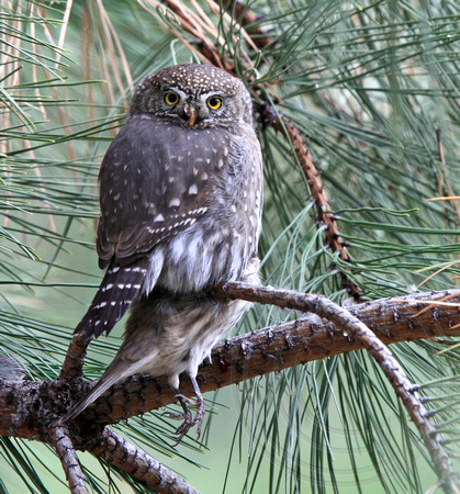 Northern Pygmy-Owl with House Finch