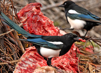 magpies enjoying the the rib special