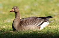 Greater White-fronted Goose, immature