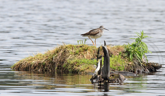 Greater Yellowlegs - possible breeding area?