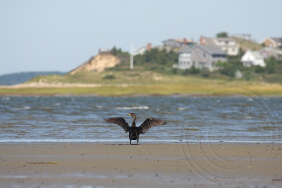 Double-crested Cormorant drying wings at Cape Cod