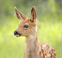 Bright-eyed Mule Deer Fawn