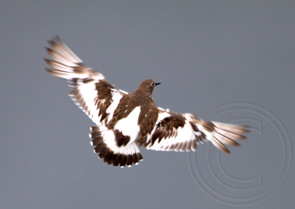 Black Turnstone in flight