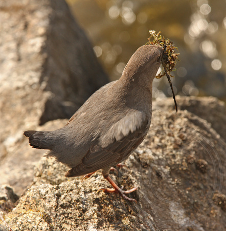 Dipper carrying nest material