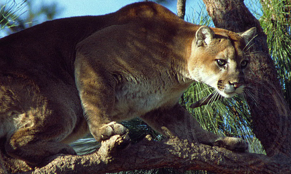 Cougar or Mountain Lion looking stealthy