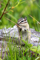 Chipmunk eating grass seeds