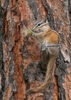 Yellow Pine Chipmunk with weed seeds