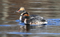 other Grebes