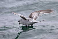 Pelagic Seabirds