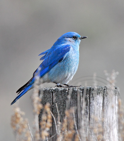 banded bluebird---BLUE