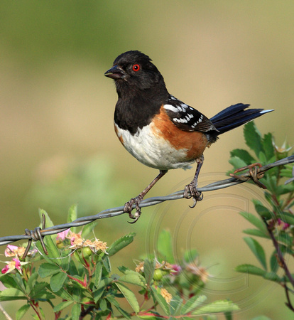 Spotted Towhee looking surprised to see me