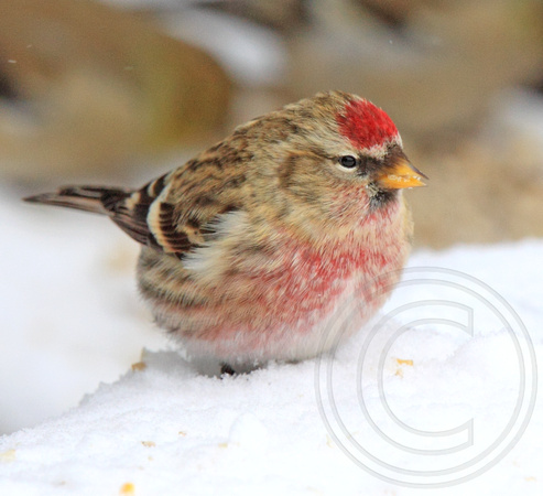 some redpolls are browner than others