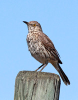 Sage Thrasher at White Lake Grasslands