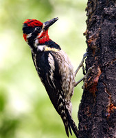 male Red-naped Sapsucker with food
